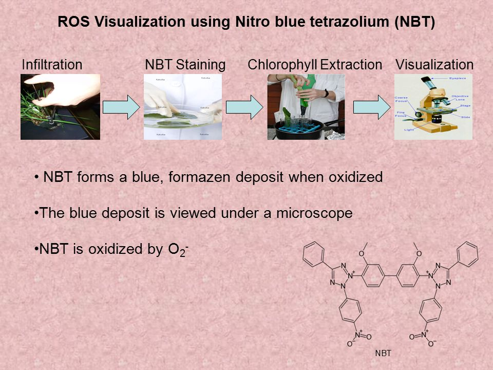 ROS Visualization using Nitro blue tetrazolium (NBT)