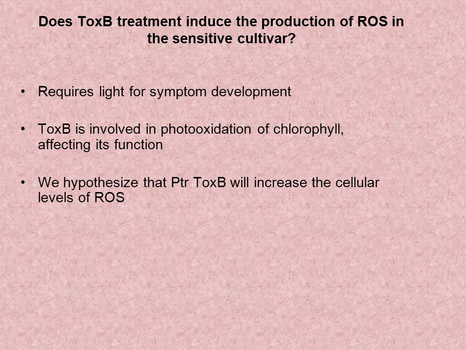 Does ToxB treatment induce the production of ROS in the sensitive cultivar