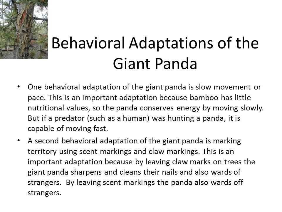 Behavioral Adaptations of the Giant Panda
