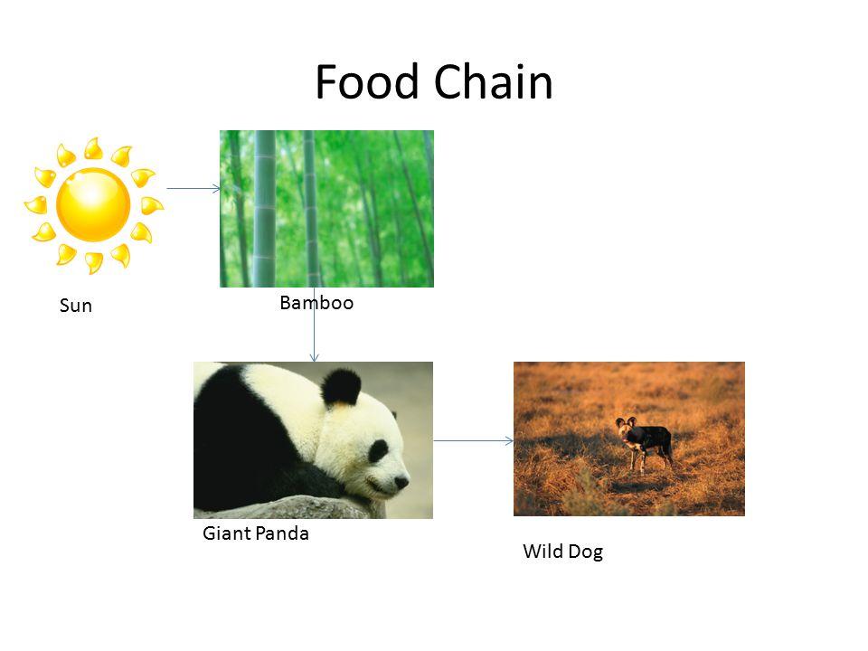 Food Chain Sun Bamboo Giant Panda Wild Dog