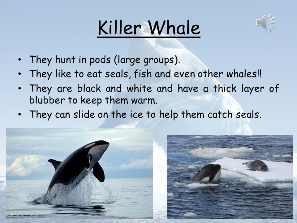 Killer Whale They hunt in pods (large groups).