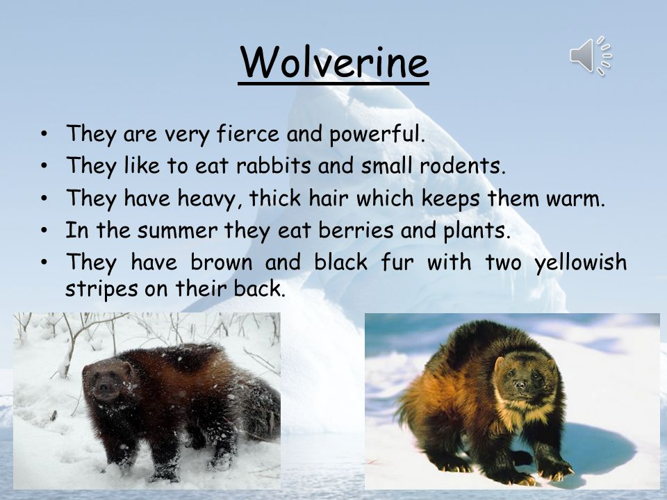 Wolverine They are very fierce and powerful.