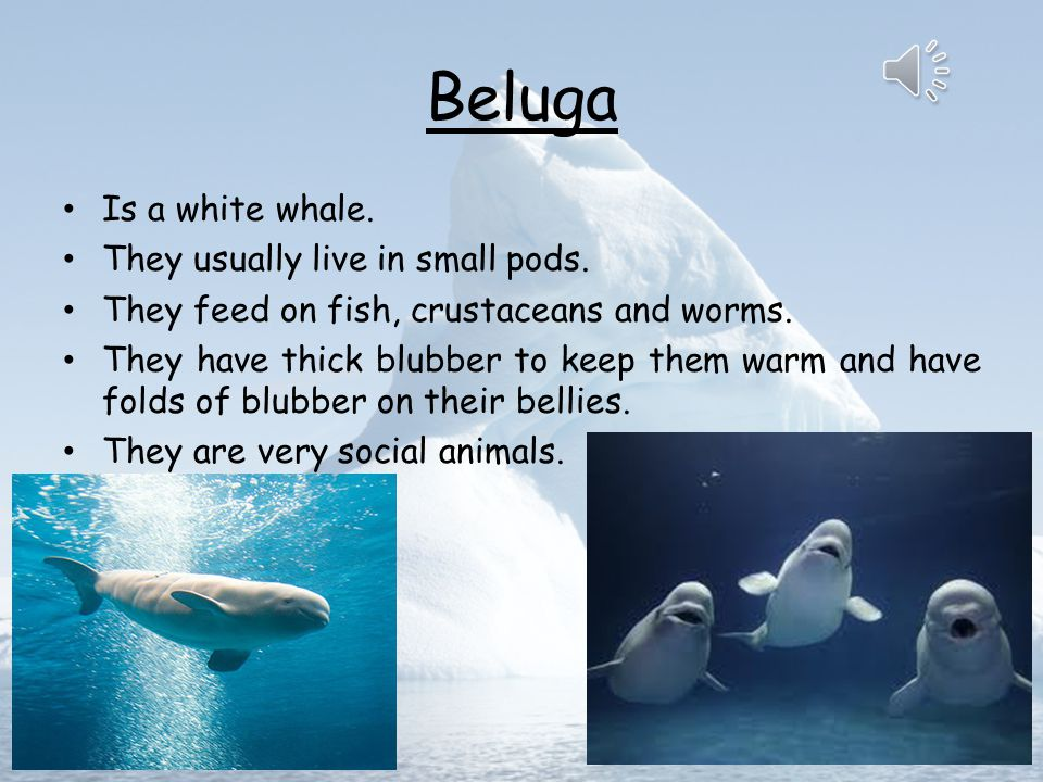 Beluga Is a white whale. They usually live in small pods.