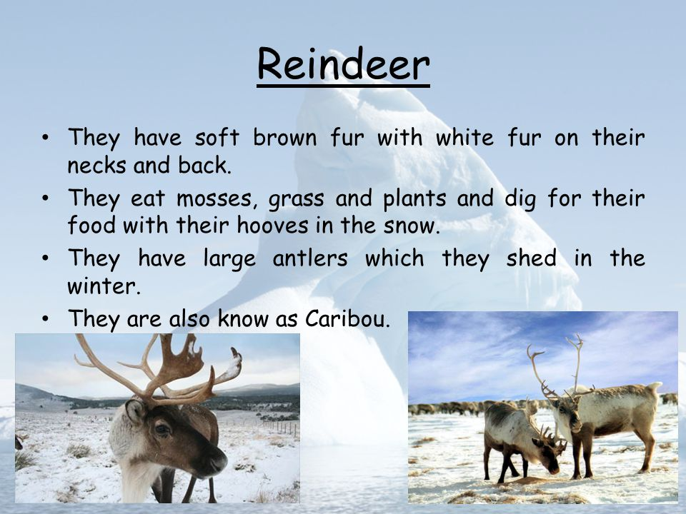 Reindeer They have soft brown fur with white fur on their necks and back.