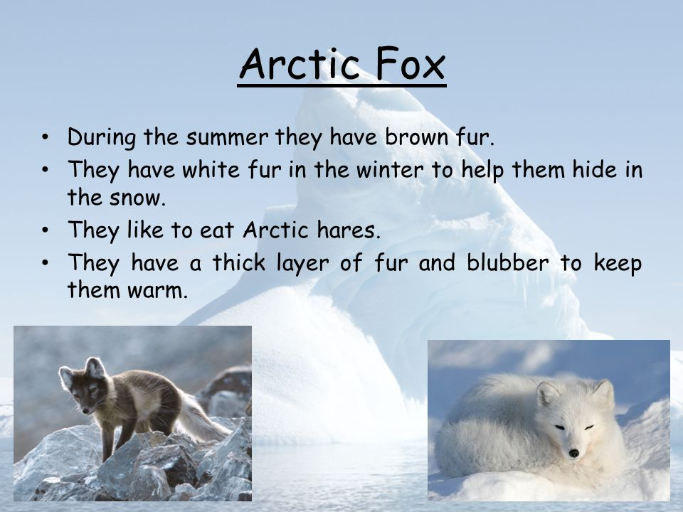 Arctic Fox During the summer they have brown fur.