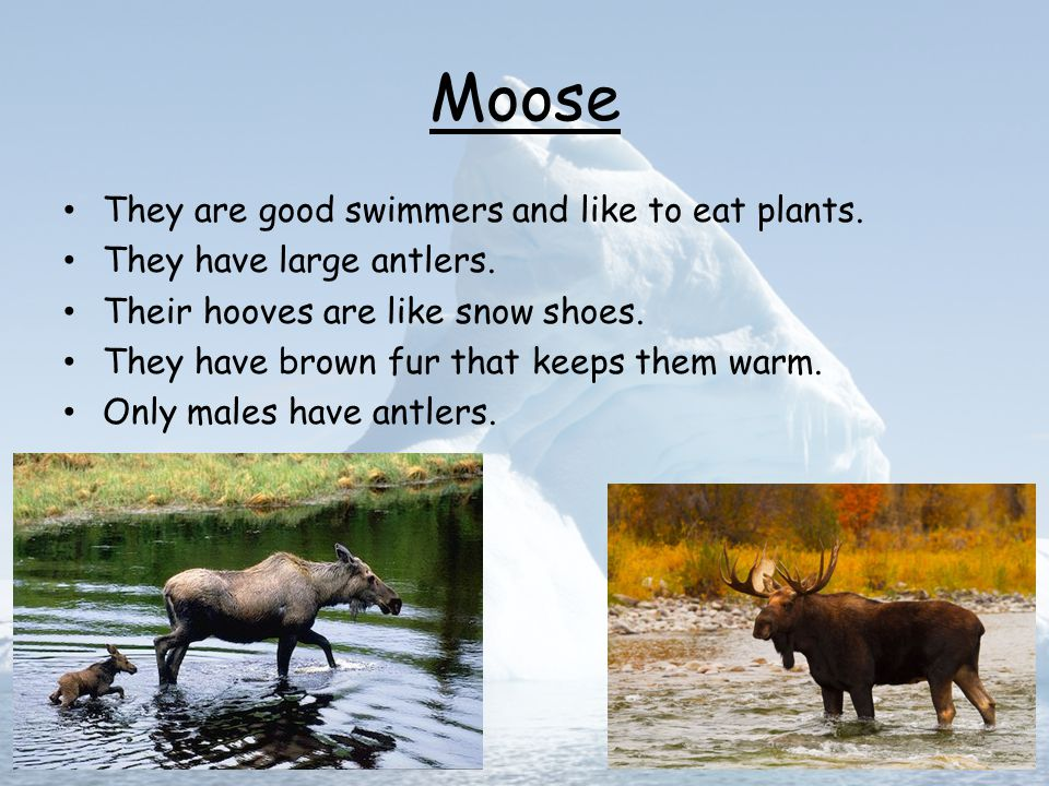 Moose They are good swimmers and like to eat plants.