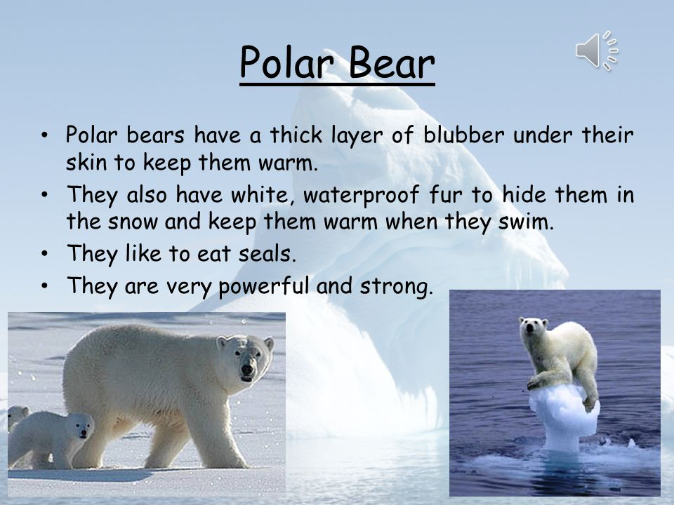 Polar Bear Polar bears have a thick layer of blubber under their skin to keep them warm.