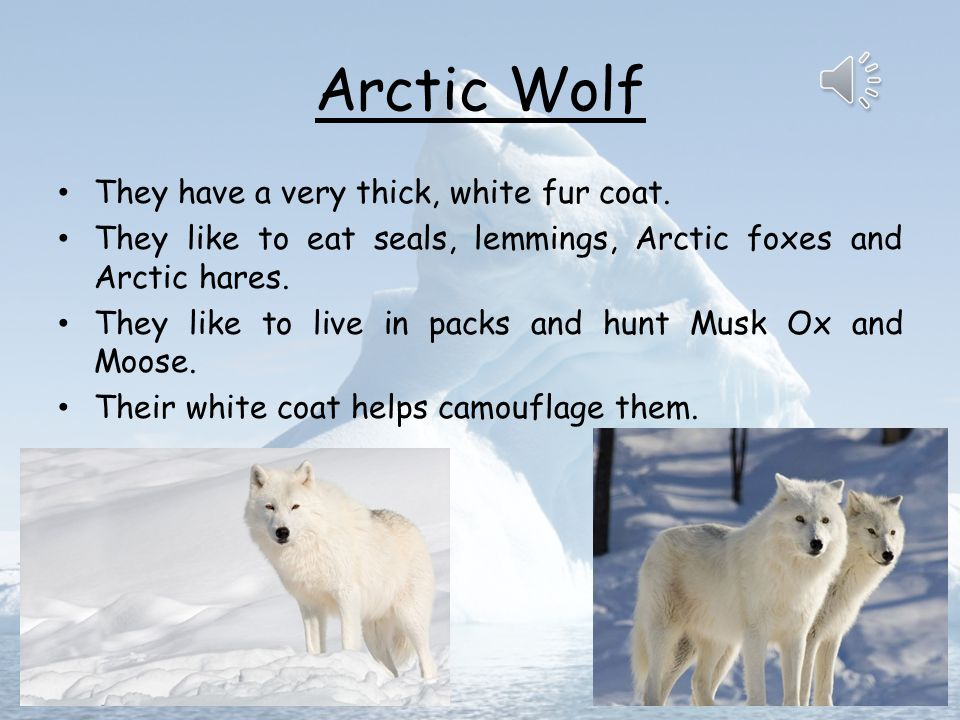 Arctic Wolf They have a very thick, white fur coat.