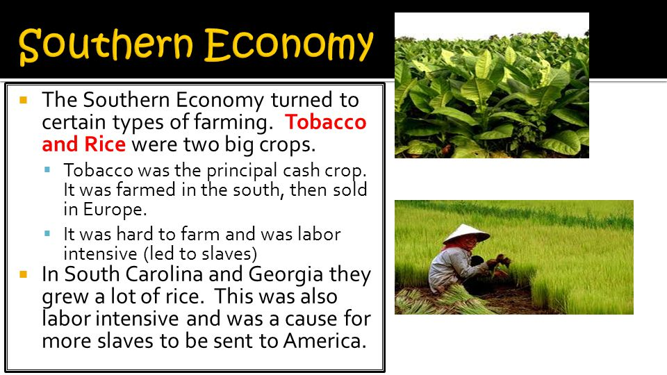 Southern Economy The Southern Economy turned to certain types of farming. Tobacco and Rice were two big crops.