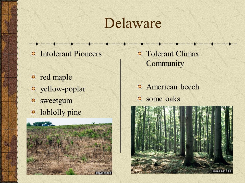 Delaware Intolerant Pioneers red maple yellow-poplar sweetgum