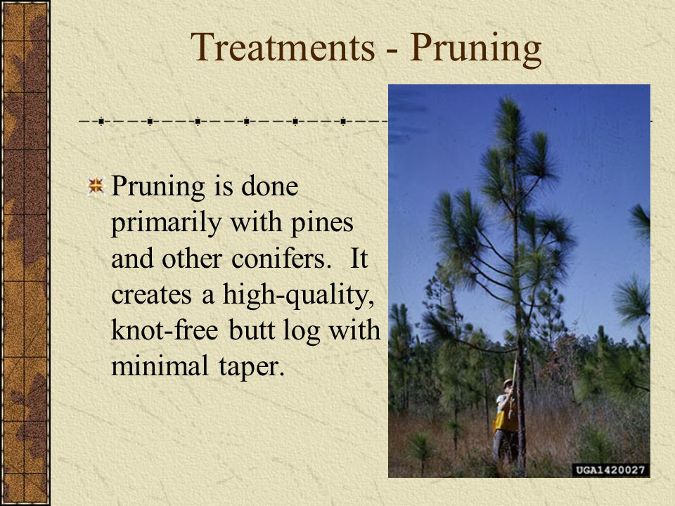 Treatments - Pruning Pruning is done primarily with pines and other conifers.