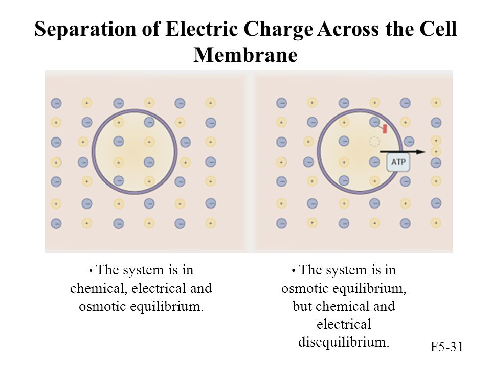 Separation of Electric Charge Across the Cell Membrane