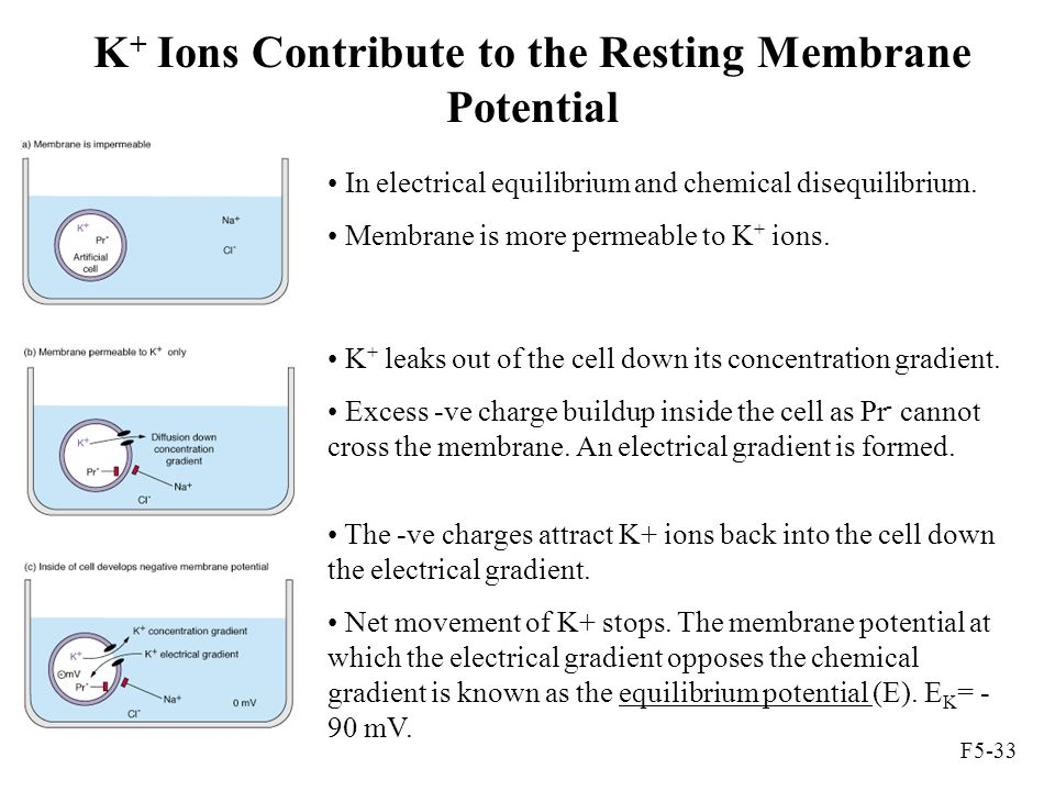 K+ Ions Contribute to the Resting Membrane Potential