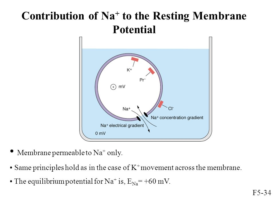 Contribution of Na+ to the Resting Membrane Potential