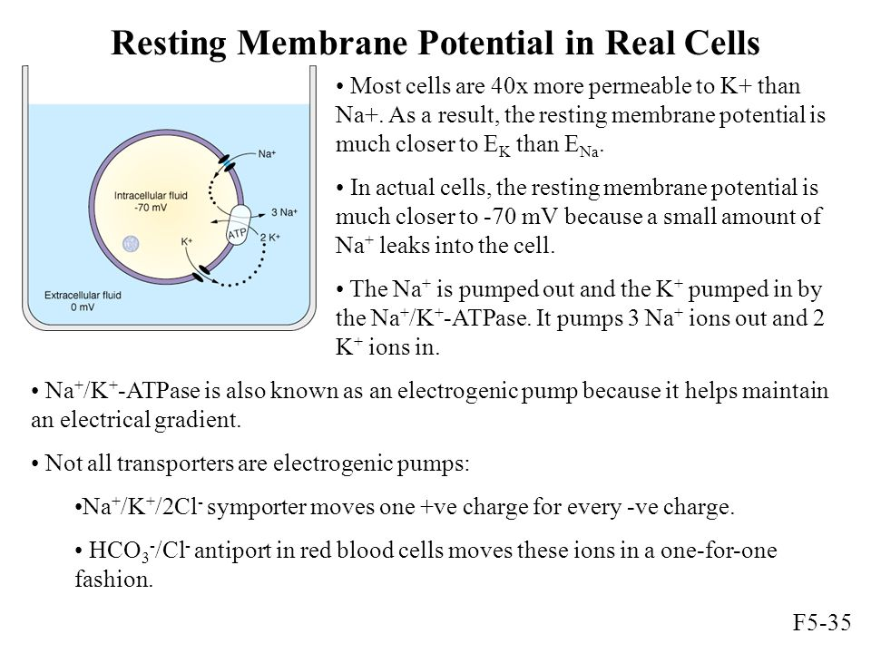 Resting Membrane Potential in Real Cells