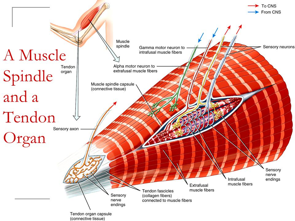 A Muscle Spindle and a Tendon Organ