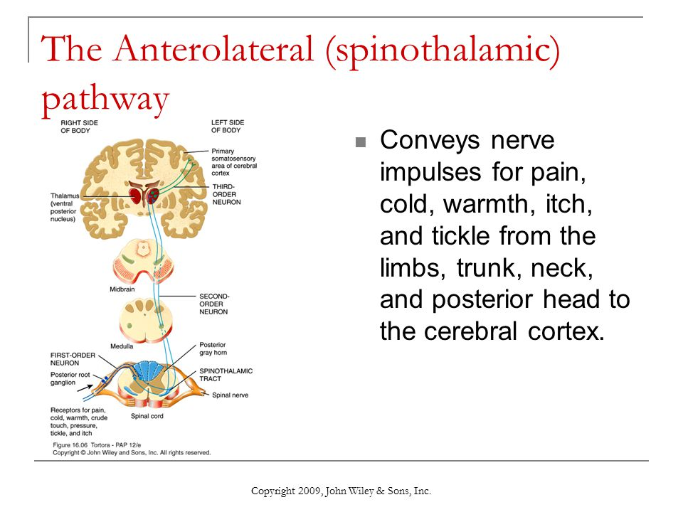 The Anterolateral (spinothalamic) pathway