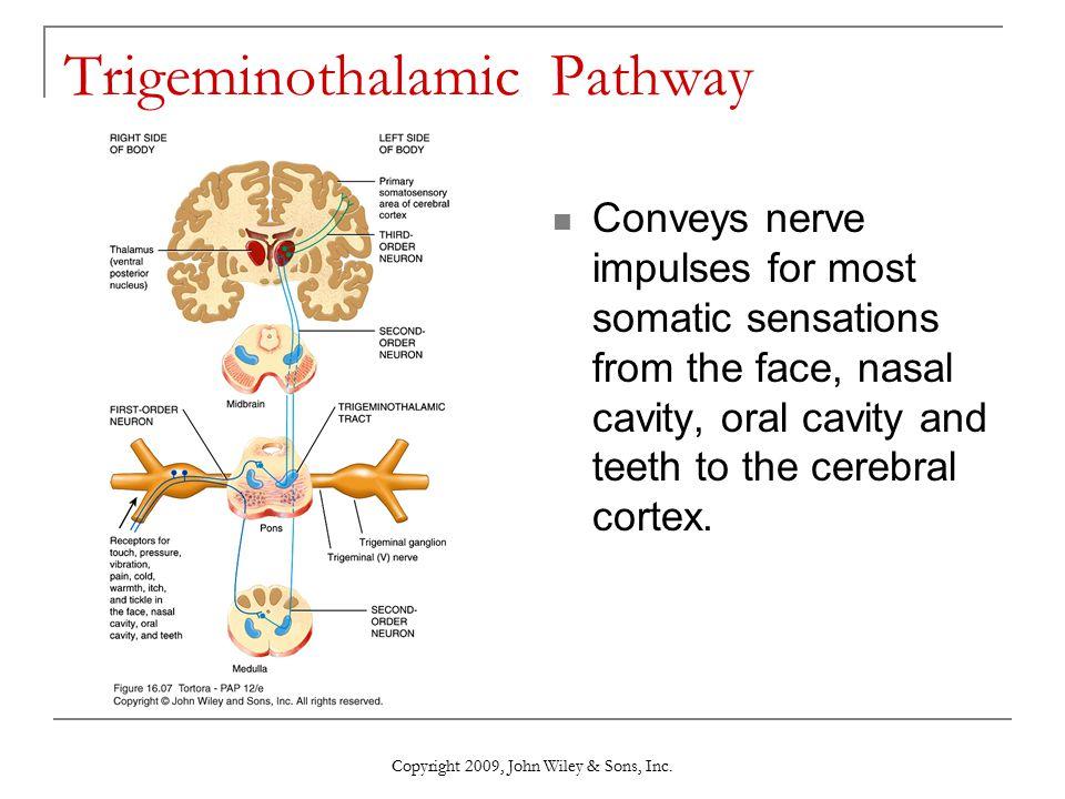 Trigeminothalamic Pathway