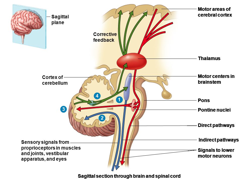 Sagittal plane. Motor areas of. cerebral cortex. Corrective. feedback. Pons. Direct pathways.