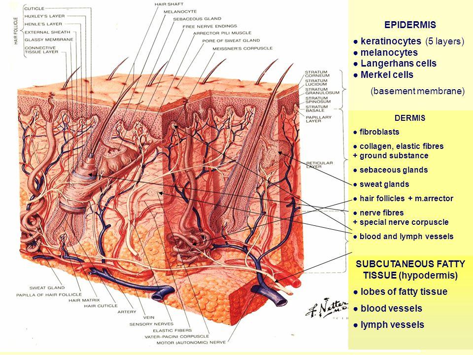 SUBCUTANEOUS FATTY TISSUE (hypodermis)