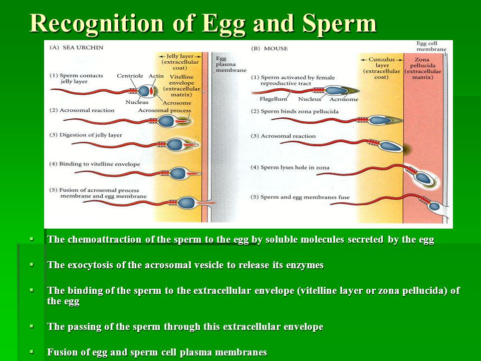 Recognition of Egg and Sperm