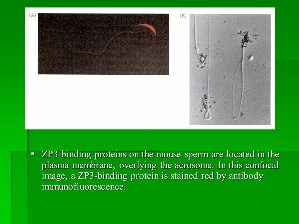 ZP3-binding proteins on the mouse sperm are located in the plasma membrane, overlying the acrosome.