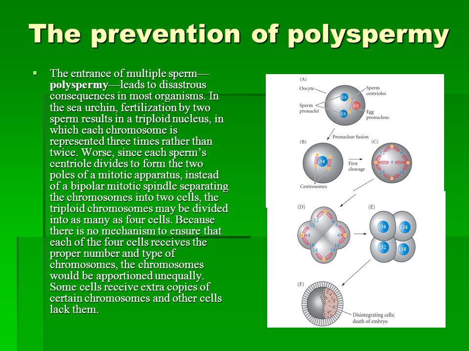 The prevention of polyspermy