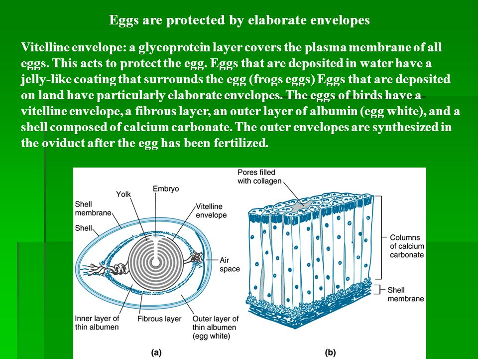 Eggs are protected by elaborate envelopes