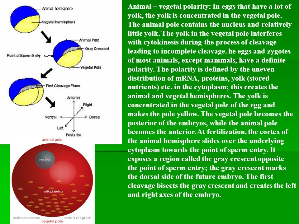 Animal – vegetal polarity: In eggs that have a lot of yolk, the yolk is concentrated in the vegetal pole. The animal pole contains the nucleus and relatively little yolk. The yolk in the vegetal pole interferes with cytokinesis during the process of cleavage leading to incomplete cleavage. he eggs and zygotes of most animals, except mammals, have a definite polarity. The polarity is defined by the uneven distribution of mRNA, proteins, yolk (stored nutrients) etc. in the cytoplasm; this creates the animal and vegetal hemispheres. The yolk is concentrated in the vegetal pole of the egg and makes the pole yellow. The vegetal pole becomes the posterior of the embryos, while the animal pole becomes the anterior. At fertilization, the cortex of the animal hemisphere slides over the underlying cytoplasm towards the point of sperm entry. It exposes a region called the gray crescent opposite the point of sperm entry; the gray crescent marks the dorsal side of the future embryo. The first cleavage bisects the gray crescent and creates the left and right axes of the embryo.