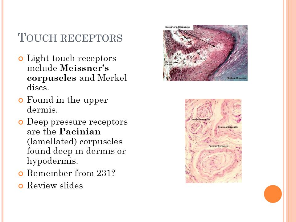 Touch receptors Light touch receptors include Meissner's corpuscles and Merkel discs. Found in the upper dermis.