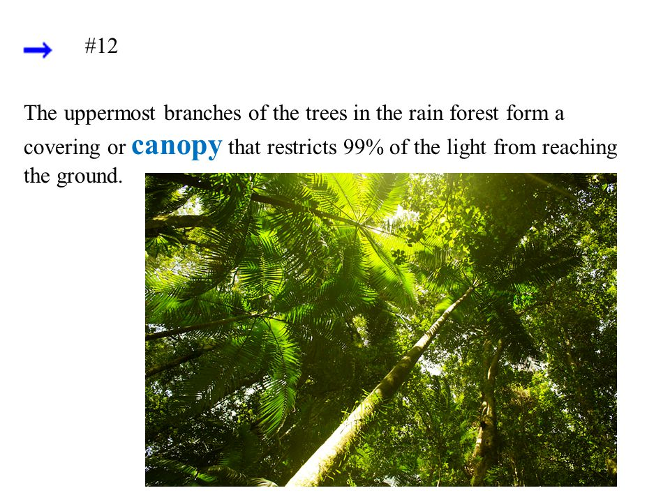 #12 The uppermost branches of the trees in the rain forest form a covering or canopy that restricts 99% of the light from reaching the ground.