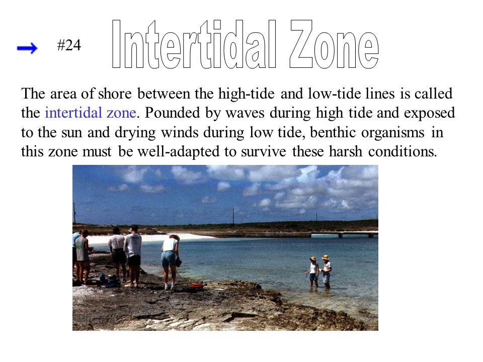 Intertidal Zone #24.