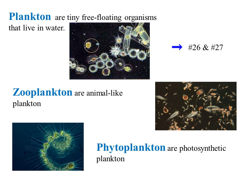 Plankton are tiny free-floating organisms that live in water.