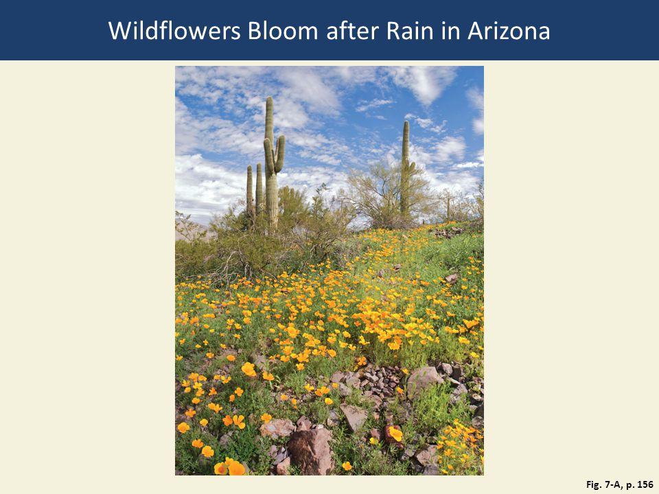 Wildflowers Bloom after Rain in Arizona