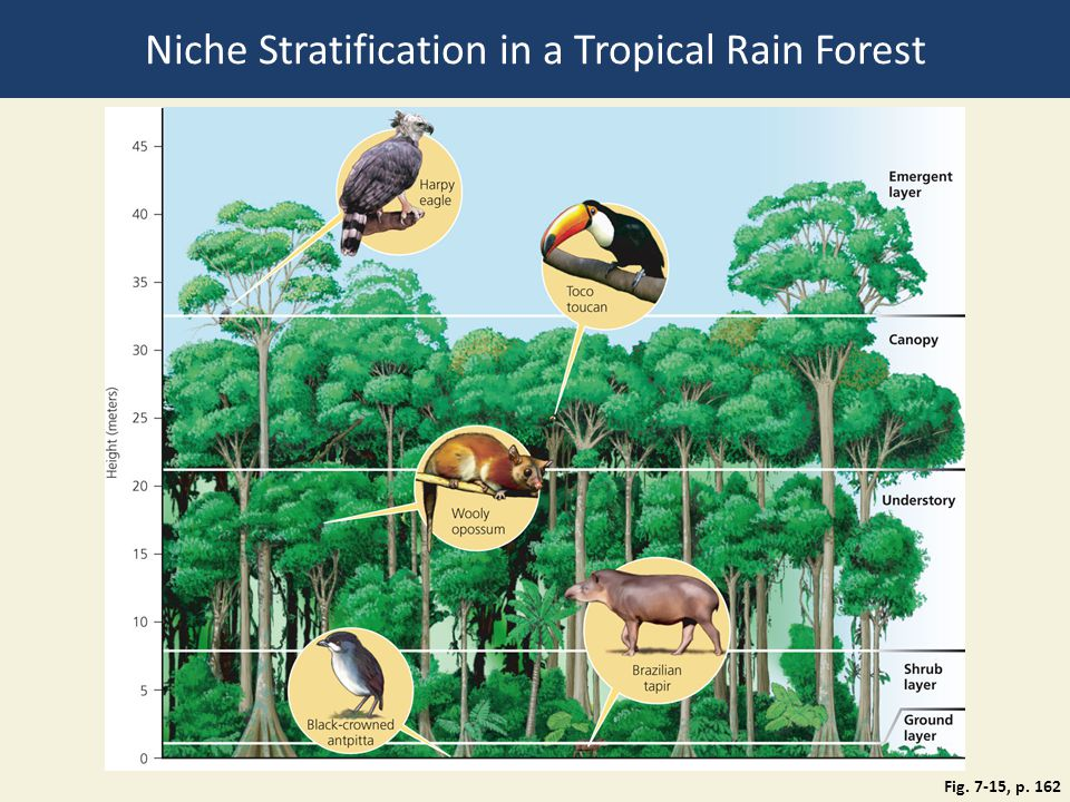 Niche Stratification in a Tropical Rain Forest