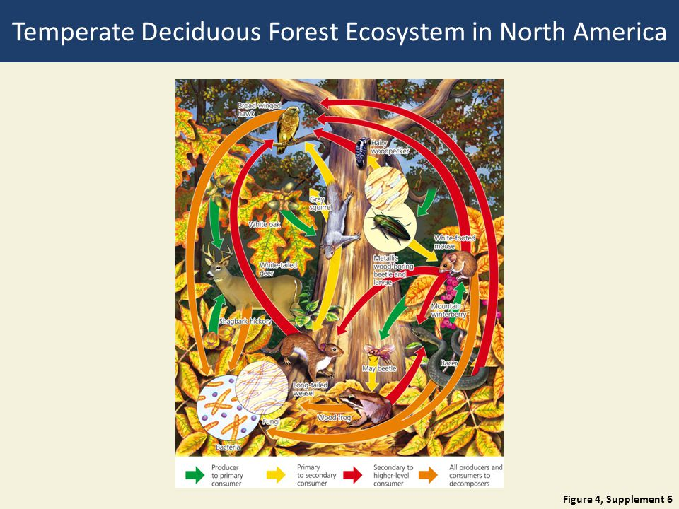 Temperate Deciduous Forest Ecosystem in North America