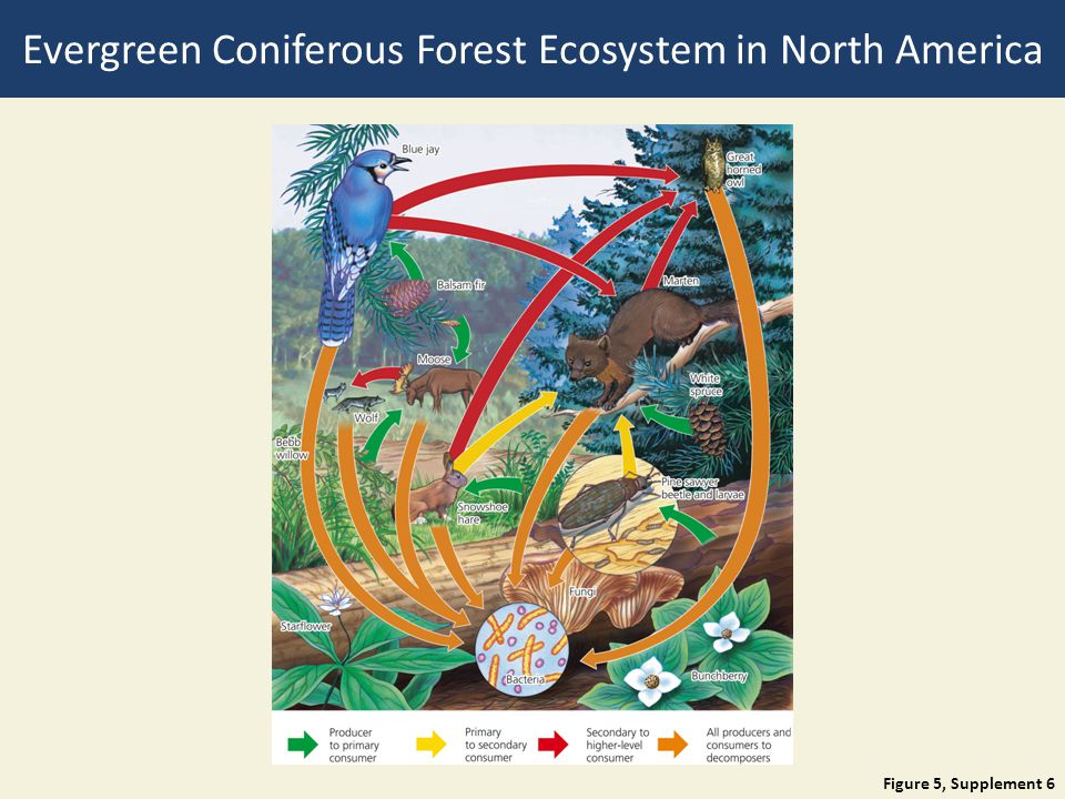 Evergreen Coniferous Forest Ecosystem in North America