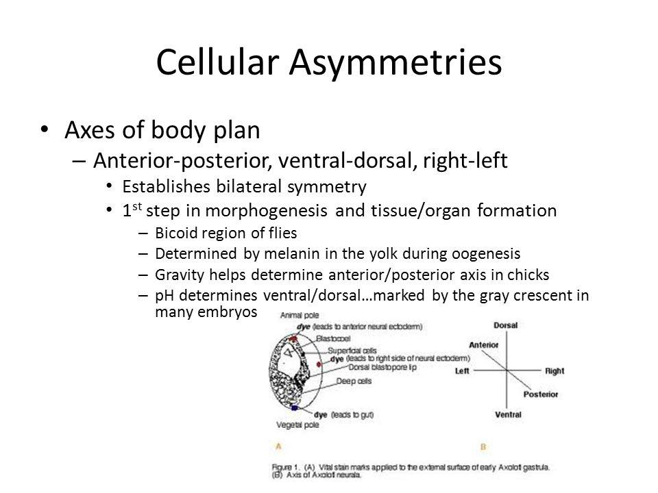 Cellular Asymmetries Axes of body plan