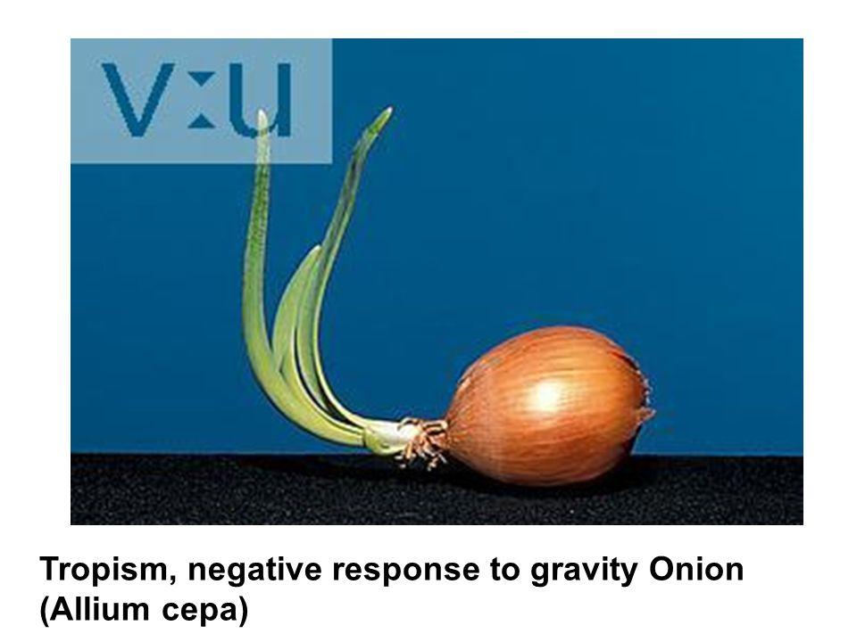 Tropism, negative response to gravity Onion