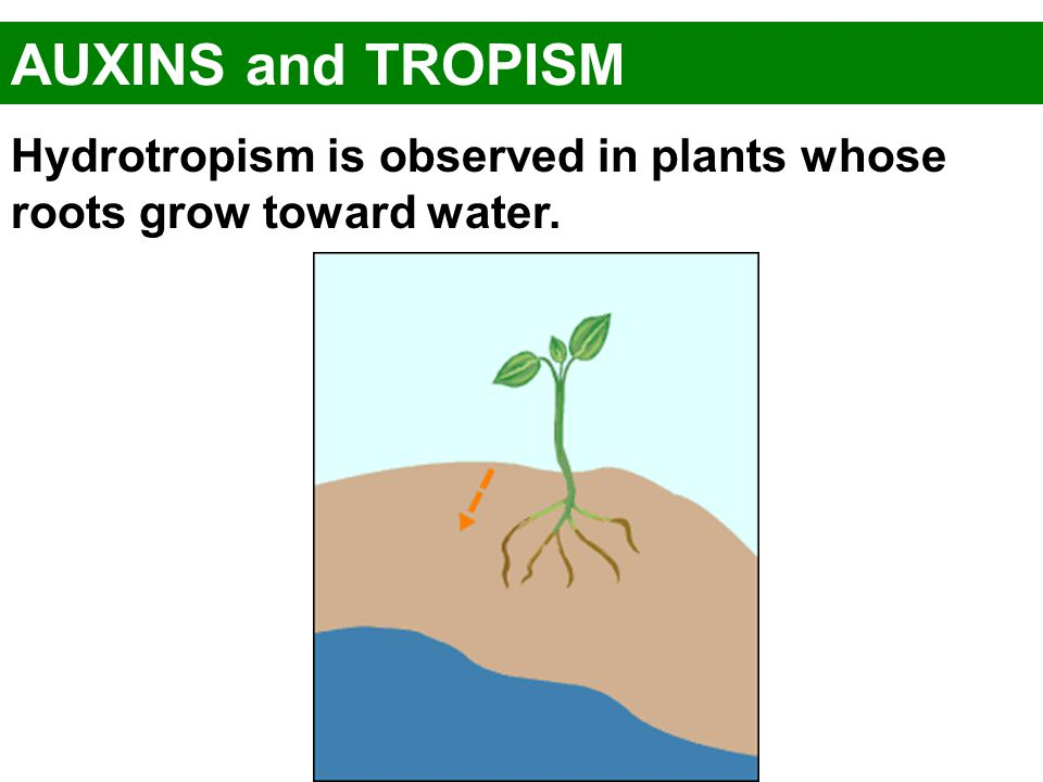 AUXINS and TROPISM Hydrotropism is observed in plants whose roots grow toward water.