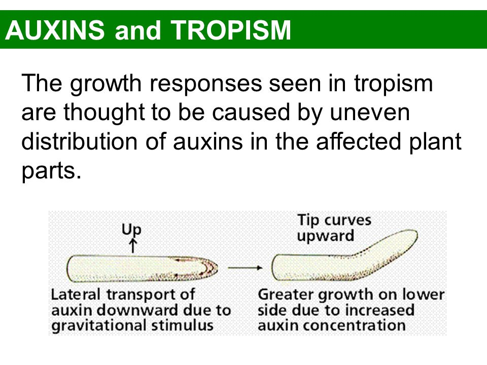 AUXINS and TROPISM The growth responses seen in tropism are thought to be caused by uneven distribution of auxins in the affected plant parts.