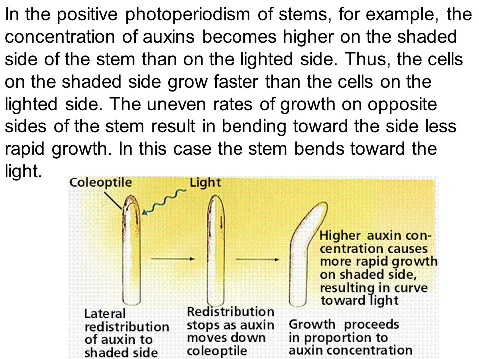 In the positive photoperiodism of stems, for example, the concentration of auxins becomes higher on the shaded side of the stem than on the lighted side.