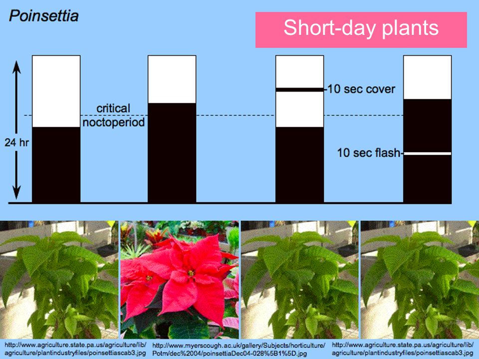 Short-day plants