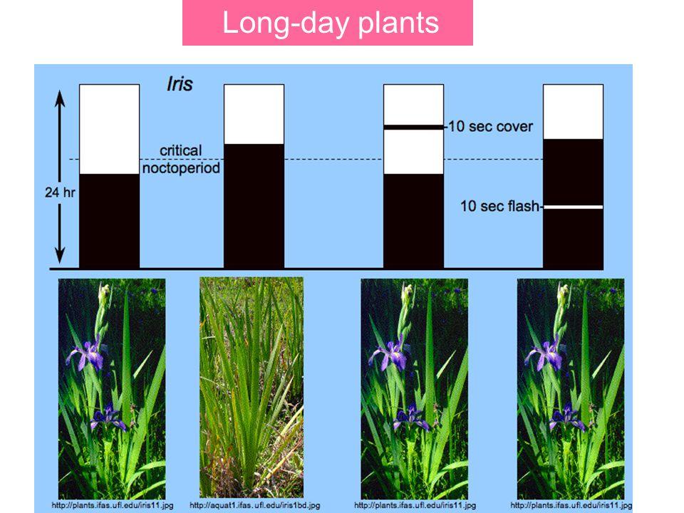 Long-day plants
