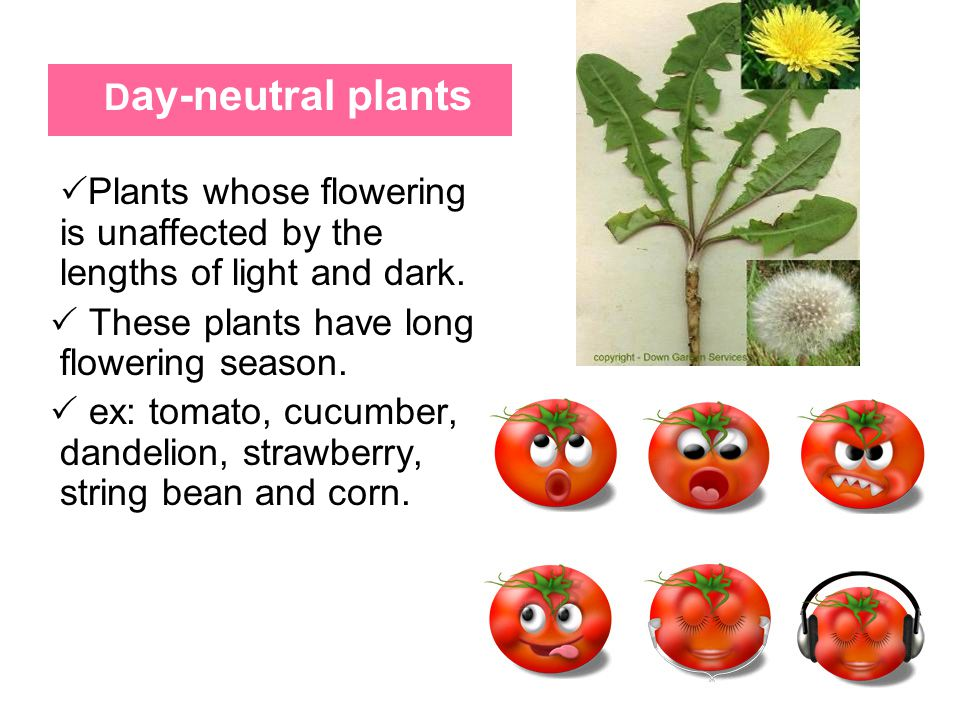 Day-neutral plants Plants whose flowering is unaffected by the lengths of light and dark. These plants have long flowering season.