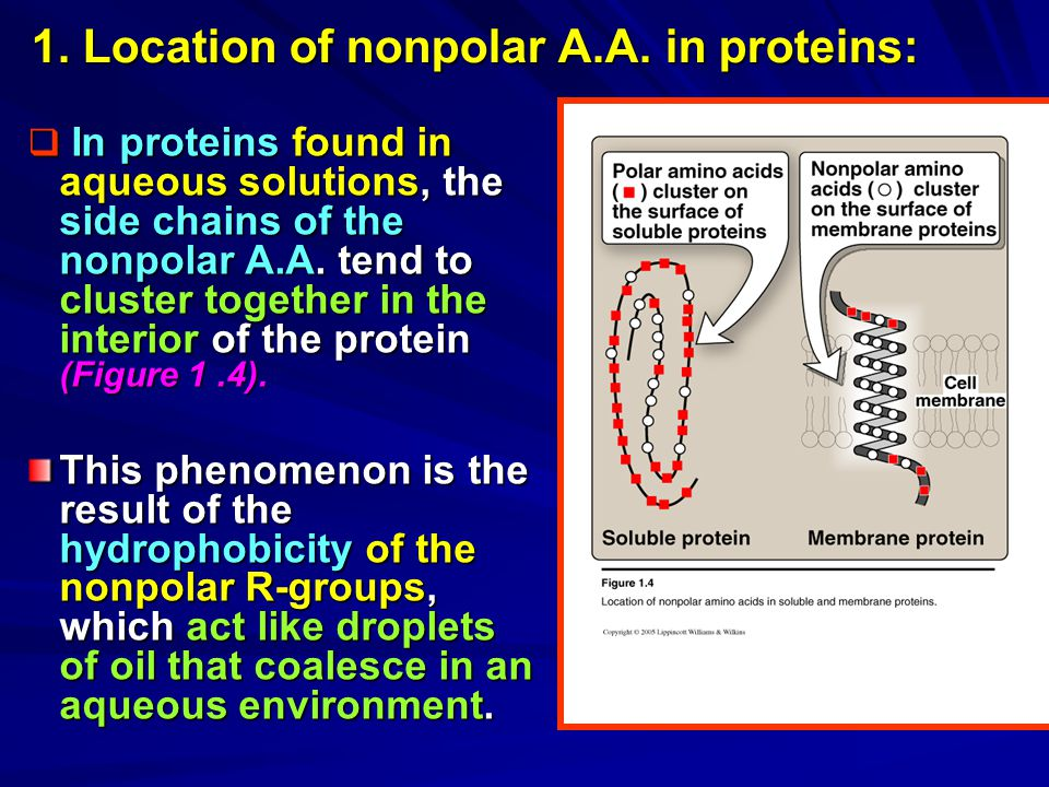 1. Location of nonpolar A.A. in proteins: