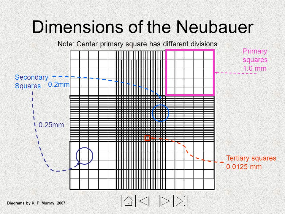 Dimensions of the Neubauer
