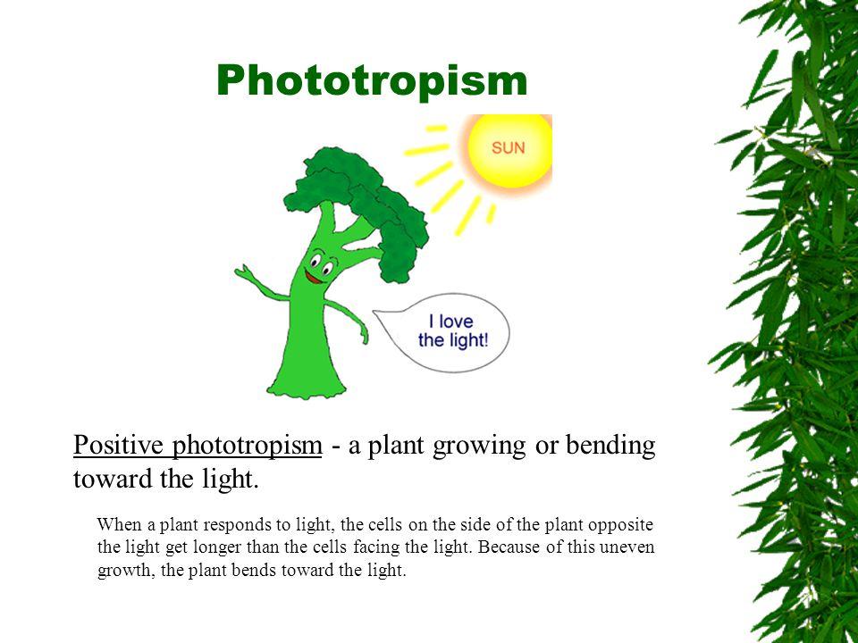 Phototropism Positive phototropism - a plant growing or bending toward the light.