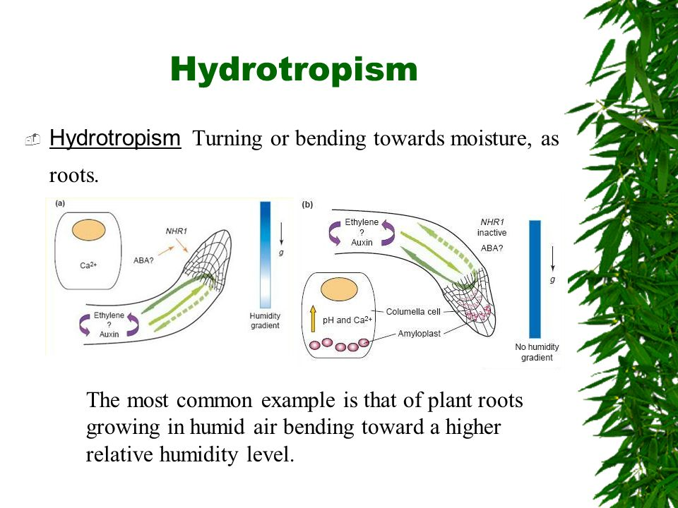 Hydrotropism Hydrotropism Turning or bending towards moisture, as roots.