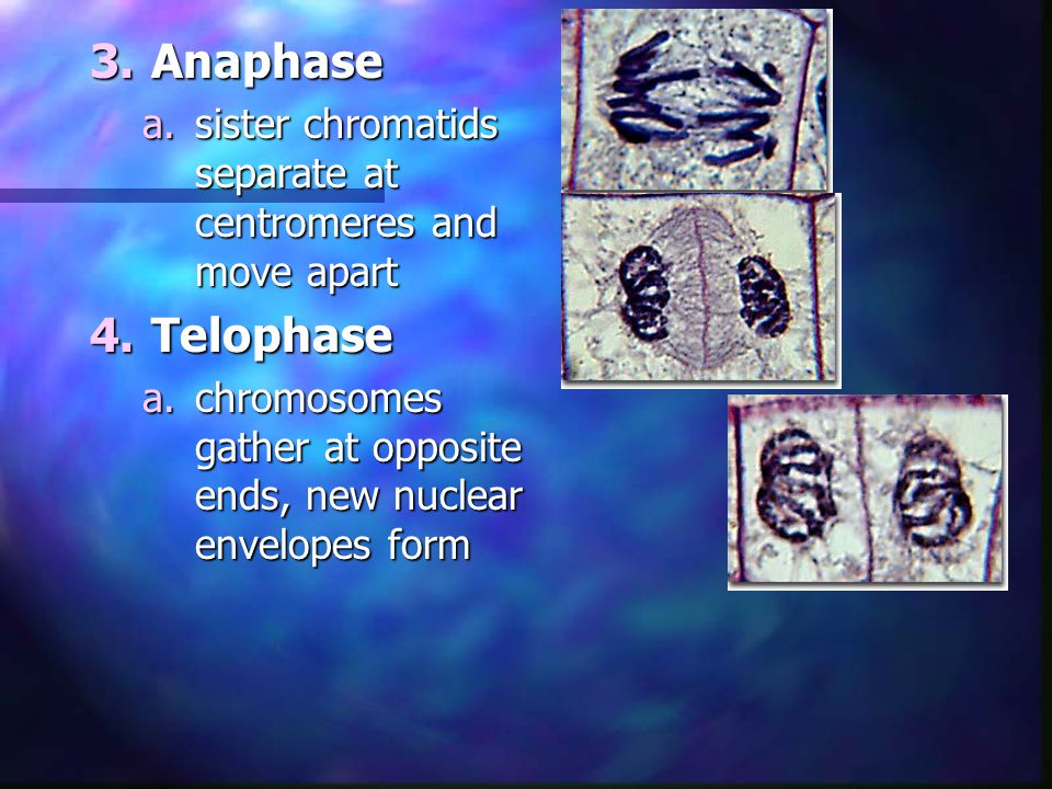 Anaphase sister chromatids separate at centromeres and move apart.